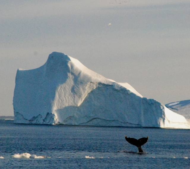 Whale in Ilulissat